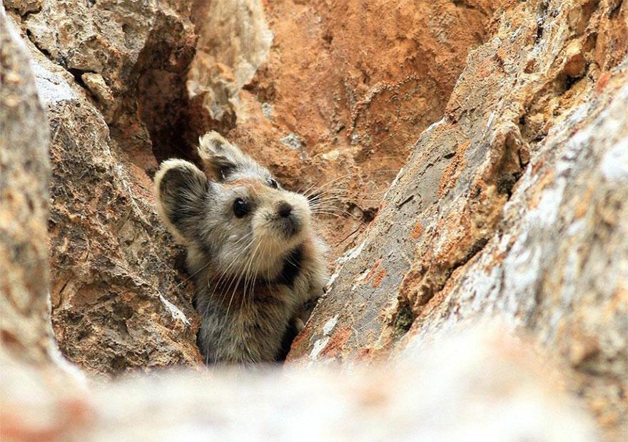 rare-endangered-animal-teddy-bear-magic-rabbit-ili-pika-_002