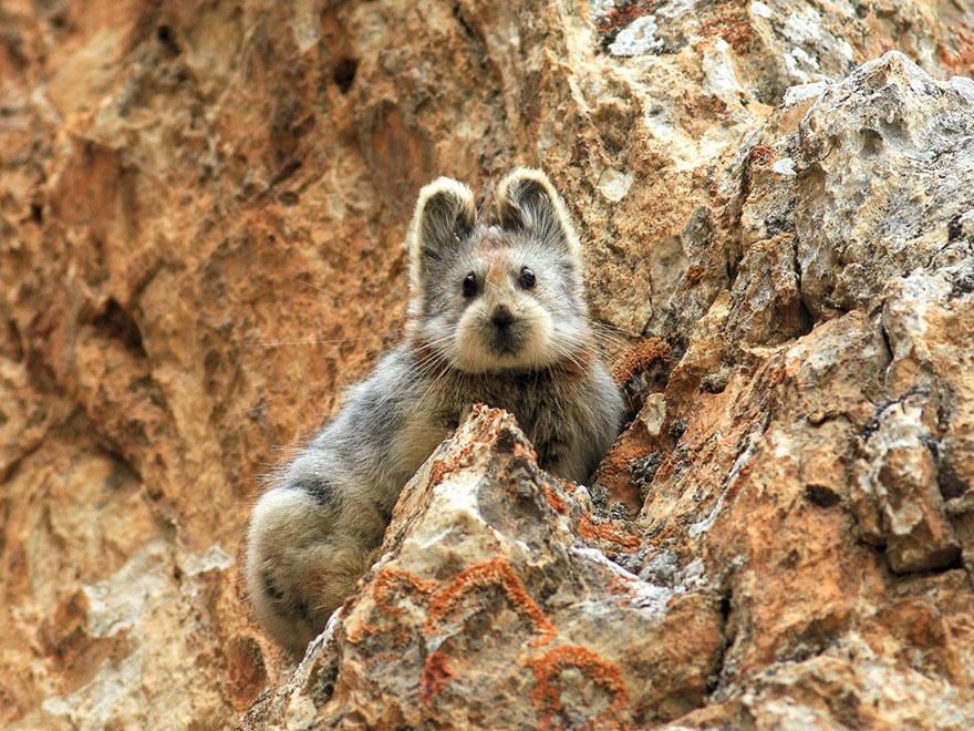 rare-endangered-animal-teddy-bear-magic-rabbit-ili-pika-_005